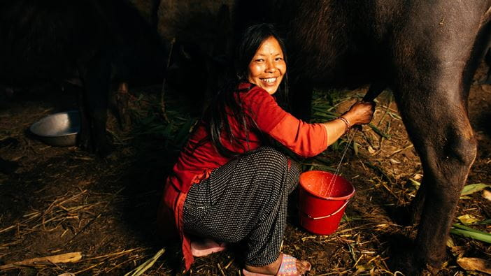 A Nepali woman milks her Buffalo enabling her to rebuild her livelihood