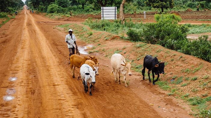 Man herding cattle along a rural road in Uganda.